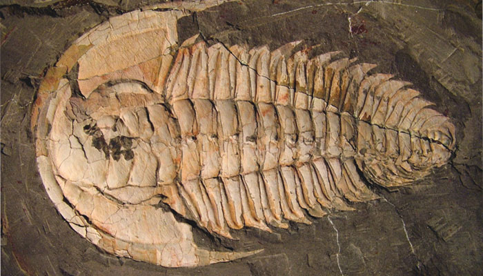 A trilobite fossil, redlichia rex from emu bay, kangaroo island – a marine creature that lived over 500 million years ago during the cambrian period.