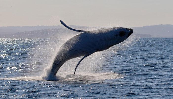 Whale breaching in Sydney by Dr Vanessa Pirotta.