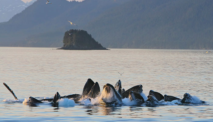 New whale super groups gather for bubble-net buffets