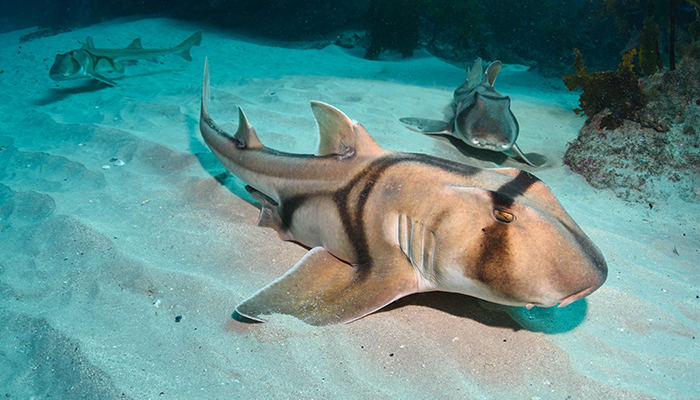 Just like humans, sharks learn how to do things from each other