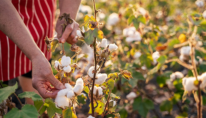 How cotton discovery could save the shirts on our backs