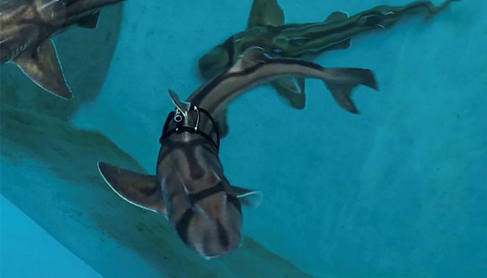 'Fitbits' throw light on secret lives of sharks
